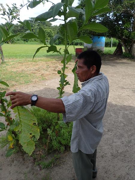 Original tobacco plant