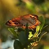 Peru 2012: Rio Madre de Dios - 0.05 Genoveva Buckeye (Nymphalidae: Nymphalinae: Junoniini: Junonia sp.; probably J. genoveva, possibly J. evarete)