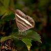 Peru 2012: Rio Madre de Dios - White-banded Pallid Ringlet (Nymphalidae: Satyrinae: Satyrini: Euptychoides albofasciata)