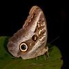 Peru 2012: Rio Madre de Dios - 200 Owl Butterfly (Nymphalidae: Satyrinae: Brassolini: Caligo placidianus or C. euphorbus)
