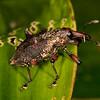 Peru 2012: Rio Madre de Dios - 172 Weevil (Curculionidae)