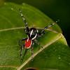 Peru 2012: Rio Madre de Dios - 176 Jumping Spider (Salticidae: Aelurillinae: Phiale cf. gratiosa)