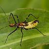 Peru 2012: Rio Madre de Dios -  183 Assassin Bug nymph (Reduviidae: Harpactorinae: possibly Zelus sp.)