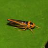 Peru 2012: Rio Madre de Dios - 0.17 Sharpshooter (Cicadellidae: Cicadellinae: Cicadellini: Soosiulus servulus)