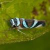 Peru 2012: Rio Madre de Dios - 170 Sharpshooter (Cicadellidae: Cicadellinae: Cicadellini: Macugonalia moesta)