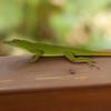 Peru 2012: Rio Madre de Dios - 135 Green Amazon Anole (Polychrotidae: Norops [Anolis] punctatus)