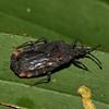 Peru 2012: Rio Madre de Dios - 0.21 Flat or Bark Bug (Aradidae: Mezirinae: probably Hesus sp.; possibly H. flaviventris)