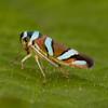Peru 2012: Rio Madre de Dios - 169 Sharpshooter (Cicadellidae: Cicadellinae: Cicadellini: Macugonalia moesta)