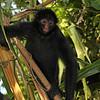 Peru 2012: Rio Madre de Dios - Peruvian or Black-faced Spider Monkey (Atelidae: Ateles chamek)