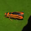 Peru 2012: Rio Madre de Dios - 0.18 Sharpshooter (Cicadellidae: Cicadellinae: Cicadellini: Soosiulus servulus)
