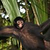 Peru 2012: Rio Madre de Dios - 0.13 Peruvian or Black-faced Spider Monkey (Atelidae: Ateles chamek)