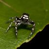 Peru 2012: Rio Madre de Dios - 179 Jumping Spider (Salticidae: Aelurillinae: Phiale cf. gratiosa)