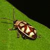 Peru 2012: Rio Madre de Dios - 0.07 Eight-spotted Flea Beetle (Chrysomelidae: Galerucinae: Alticini: Omophoita sp.; probably O. cyanipennis; possibly O. albicollis)