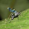 Peru 2012: Rio Madre de Dios - 0.19 Spider Wasp (Pompilidae: Pepsinae: Ageniellini: Auplopus sp.; probably A. semialatus)