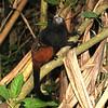 Peru 2012: Rio Madre de Dios - 0.09 Saddleback or Brown-mantled Tamarin (Callitrichidae: Saguinus fuscicollis)