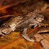 Peru 2012: Rio Madre de Dios - 194 Perez's Snouted Frog or Eyelashed Forest Frog (Leptodactylidae: Leiuperinae: Edalorhina perezi)