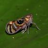Peru 2012: Rio Madre de Dios - 0.20 Probably a Derbid Planthopper (Derbidae: possibly Cedusa sp.)