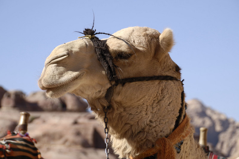 A dignified camel!