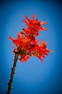 Arizona Ocotillo bloom.