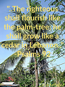 13 The righteous shall flourish like the palm-tree; he shall grow like a cedar in Lebanon.   יג  צַדִּיק, כַּתָּמָר יִפְרָח;    כְּאֶרֶז בַּלְּבָנוֹן יִשְׂגֶּה.	  Psalms Chapter 92 תְּהִלִּים https://www.mechon-mamre.org/p/pt/pt2692.htm  http://www.foodinthebible.com/tag/coconut/  https://nationaldaycalendar.com/national-coconut-day-june-26/  #goodnewseverybodycom https://www.instagram.com/p/BzMzh5jliXu/