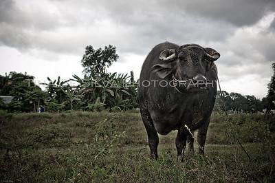The Philippine Carabao Sta. Maria, Bulacan Philippines