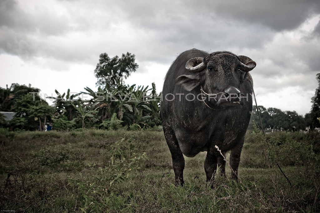 The Philippine Carabao<br /> Sta. Maria, Bulacan<br /> Philippines