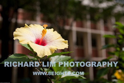 Gumamela flower (also known as Hibiscus) with Berchmans Hall in the background. Had most of my classes in this building.