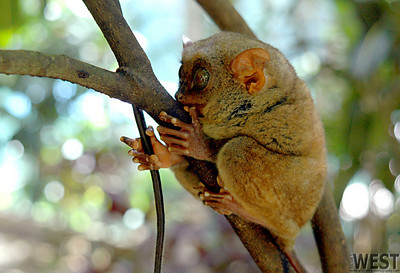Tersier, world's smallest primate species (endangered).