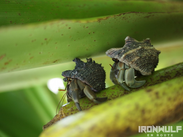 lots of large hermit crabs residing at some plants on the island