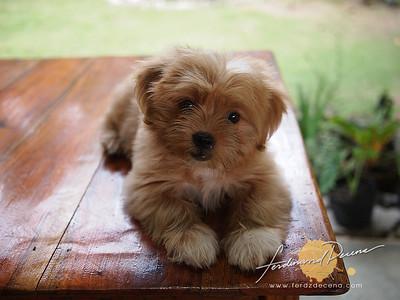 Sicayab-Bucana Dog