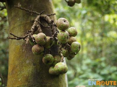 Tibig Tree Fruit