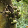 Tibig Tree Fruit