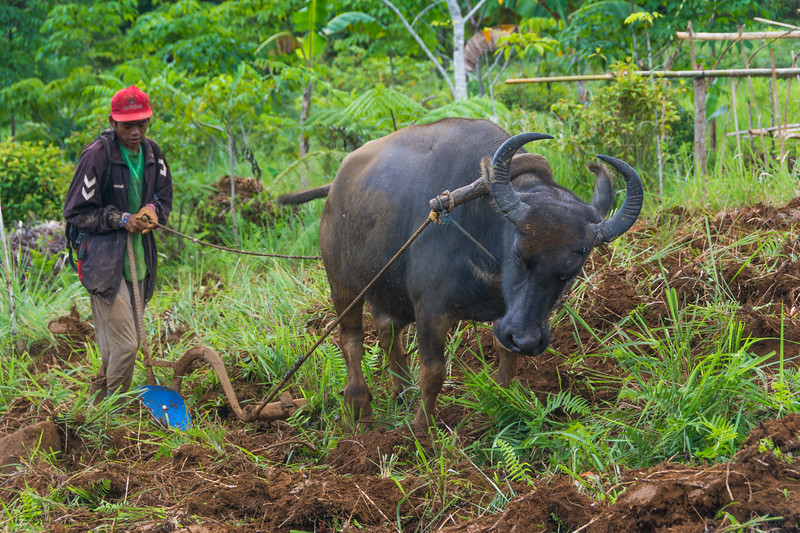 A smallholder farmer plowing with a buffalo, Bukidnon in Mindanao, southern Philippines, June 2017. [Bendum 2017-06 012 Bukidnon-Philippines]