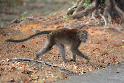 Philippine long-tailed macaque