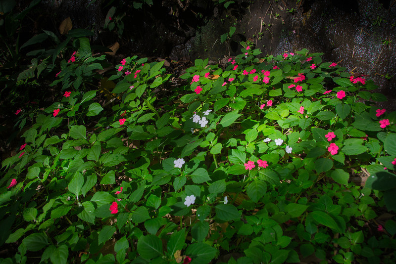 This population of Impatiens consists of individuals of three color morphs; pinkish-red, crimson purple and white. On the road from Tagaytay descending to Lake Taal, March 2014.