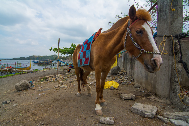 One of the little ponies which carries tourists up to thecrater rim of the volcano on the island in Lake Taal. March 2014.