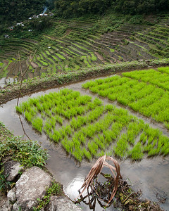 A freshly planted rice terrace.