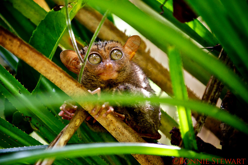 Tarsier - a tiny primate that is found only in the Philippines.  Sizes ranges from 3 to 6 inches.  They are nocturnal.