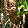 Now that's a happy tarsier - he lives quasi-freely in the tarsier sanctuary. It's very very bright for him, so he has the tiniest pupils.