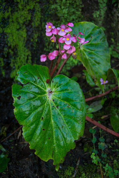 Each region in SE Asia has its own Begonia sp. This pretty one is growing in a forest seep on the road from Tagaytay down to Lake Taal. March 2014.