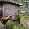 Mr. Rooster doing his evening round in Batad.