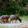 Local village children riding their water buffalo at the base of Mt. Pinatubo, a volcano that erupted in 1991