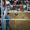 After the roosters have been shown to the public and to the each other, they each get a little blade to one of their legs (so as to kill their opponent faster. Yes, the fights end with the death of one of the two opponents; it's a cruel world.). You can make your bet on of the two (based on your rooster expertise...) and then the fight starts!