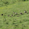 Flock of wild turkeys comes through the meadow.