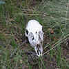 Deer skull on the trail.