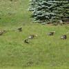 Turkeys passing by.