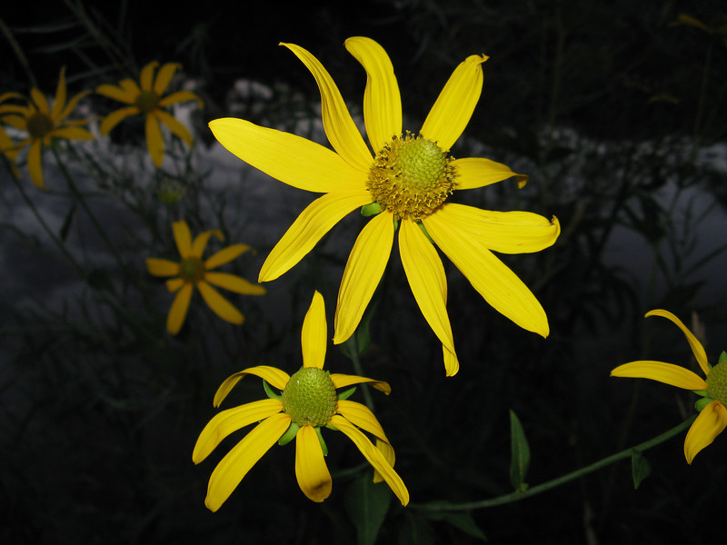 Yellow mountain daisy of some sort.