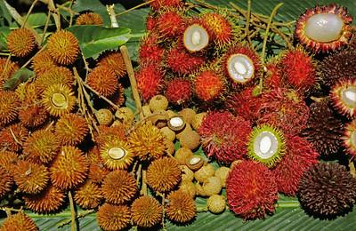 Rare litchi relatives, Sabah, Malaysia-1997