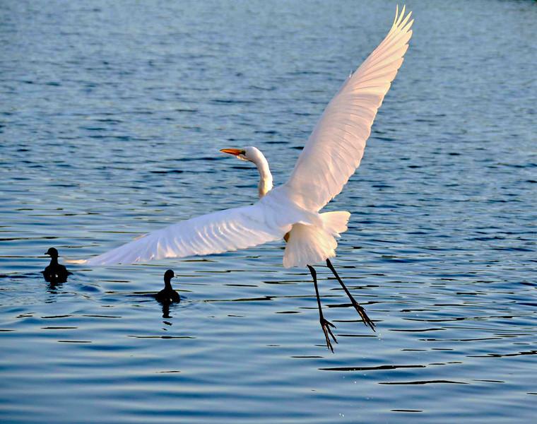 Egret flying away