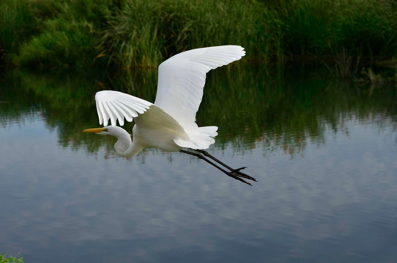 Great egret leaving the ground